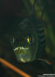 Face to face with this amazing Tiger Fish, well knowed in... by Michel Lonfat