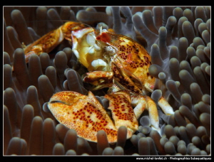 Porcelaine Crab.... :O) by Michel Lonfat
