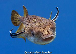 Porcupinefish approaching, Airbus with new wings Bunake... by Hans-Gert Broeder