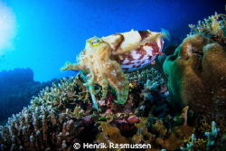 Cuttlefish on reef. Taken with a canon 50D, Tokina 10-17m... by Henrik Rasmussen