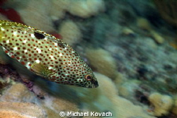 Rock Hind swimming along the Big Coral Knoll, off the bea... by Michael Kovach