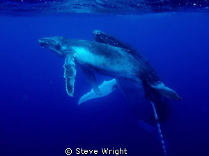 mother and calf humpback whale coming up for air taken wi... by Steve Wright