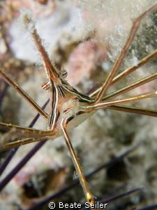 "Arrow crab form ""Under the Bridge"" by Beate Seiler"