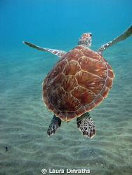 Juvenile green turtle swimming away by Laura Dinraths