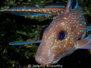 Ratfish by Jeremy Axworthy