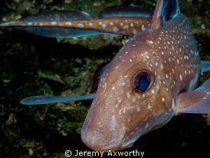 Ratfish by Jeremy Axworthy