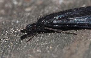 caddis fly portrait (Leptocerinae family) by Chris Krambeck