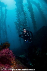 A diver descending from the kelp on the backside of Catal... by Kevin Robert Panizza
