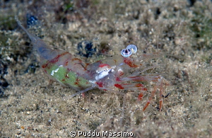 colored shrimp with eggs,nikon D800e,105 macro,Gangga island by Puddu Massimo