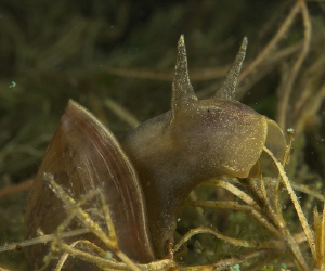 nibbling aufwuchs from delicate Potamogeton pectinatus by Chris Krambeck