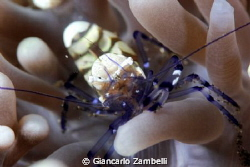 commensal shrimp by Giancarlo Zambelli