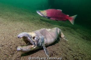 The Ghost Salmon by Wolfgang Zwicknagl