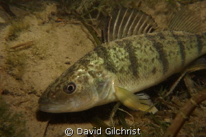 Perch sp. Taken on a night dive in the Niagara River. by David Gilchrist