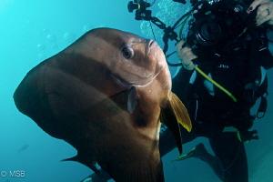 The batfish wants to be a model. Nikon D800 and Nikkor 16... by Mehmet Salih Bilal