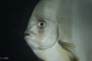 Batfish portrait. by Mehmet Salih Bilal