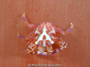 Porcelain crab on soft coral pink Nikon D800E, 105 micro... by Marchione Giacomo