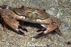 Blotched Swimming Crab on the flats to the South of the B... by Michael Kovach