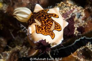 Leopard Dorid Nudibranch, Chromodoris gleniei by Mehmet Salih Bilal