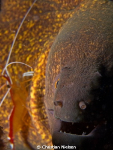 One of many friendly morays in the Tulamben area. by Christian Nielsen