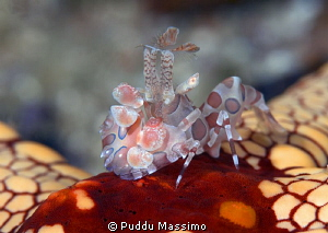 arlequin crab on sea star,nikon D800e 105macro,Gangga island by Puddu Massimo