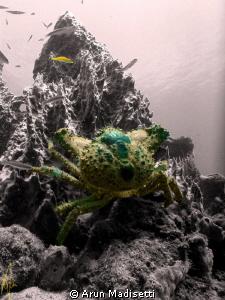 Coral king crab by Arun Madisetti