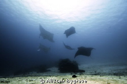 5 reef mantas, around bommie at manta sandy raja ampat. by Alistair Bygrave