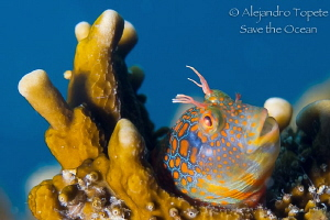 Blenny Mandarin, Plataforma Tiburon Mexico by Alejandro Topete