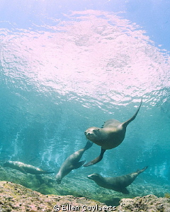 Sea lions at La Vela, Sea of Cortez. by Ellen Cuylaerts