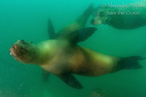 Sea Lions coming for the photo, Galapagos Ecuador by Alejandro Topete