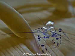 "glass shrimp  NIKON D7000 in a Seacam ""Prelude"" uw hous... by Thomas Bannenberg"