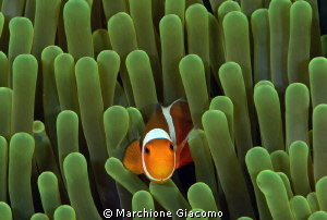 Clown fish, the more tiny