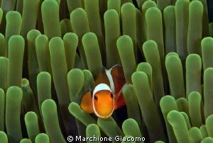 Clown fish, the more tiny Nikon D800E , twin strobo, 105... by Marchione Giacomo