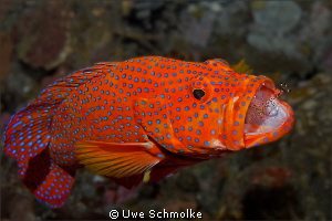 Dental care - Coral grouper with shrimp.  Have fun wat... by Uwe Schmolke