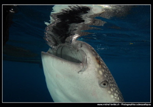 Whale shark filtering water.... by Michel Lonfat