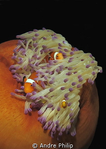 clownfish family in her truly nice home by Andre Philip