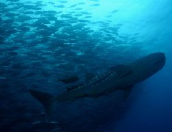 Whaleshark in school of bigeye jacks at Dirty Rock, Cocos... by Ofer Ketter