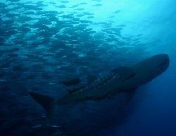 Whaleshark in school of bigeye jacks at Dirty Rock, Cocos... by Ofer Ketter