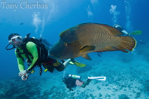 Napolean Wrasse and a diver's intimate encounter with the... by Tony Cherbas