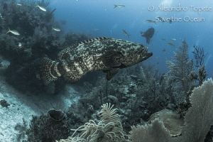 Goliat Gruper with diver, Gardens of the Queen Cuba by Alejandro Topete