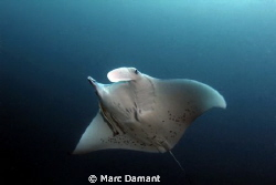 Gentle Giant! They hadn't had a Manta Ray in the double l... by Marc Damant