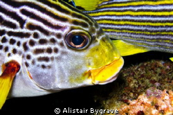 Diagonal banded sweetlips by Alistair Bygrave