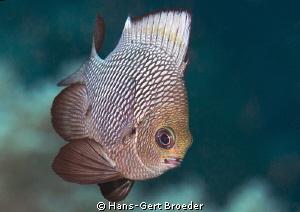 Hawaiian Dascyluss Bunaken,Sulawesi,Indonesia, Bunaken I... by Hans-Gert Broeder