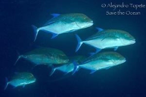 Blue Jacks on the Dark, Galapagos Ecuador by Alejandro Topete