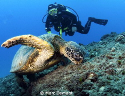 Two for lunch! We found this huge green turtle eating and... by Marc Damant