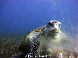 Hawksbill turtle feeding on broccoli coral. The coral is ... by Laura Dinraths