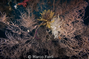 Habitat, Black Coral at 60m by Marco Fierli
