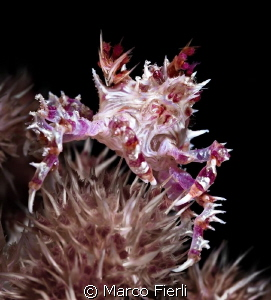 Soft coral Crab by Marco Fierli