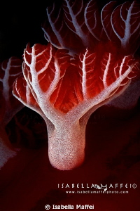 """""""MARINE CANADIAN FLAG"""" supermacro about spanish dancer g... by Isabella Maffei"""