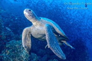 Turtle in thermocline, Galapagos Ecuador by Alejandro Topete