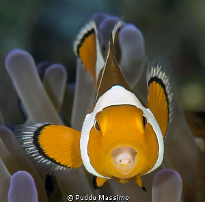 clown fish with parasite in the mouth,nikon D800e,105 mac... by Puddu Massimo
